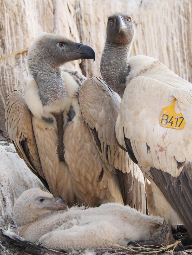 breeding pair of captive cape vultures