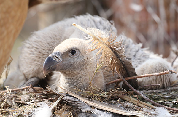 cape vulture chick