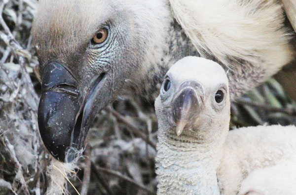cape vulture breeding programme, cape vulture chick