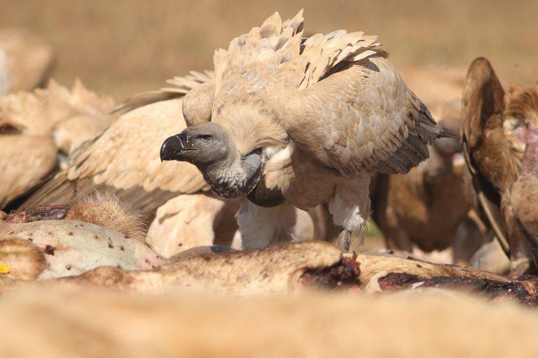 vulture restaurant at vulpro, cape vulture