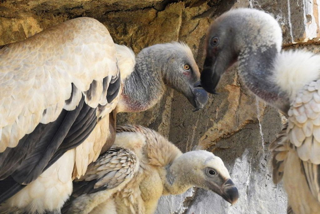 Captive breed Cape vulture chick